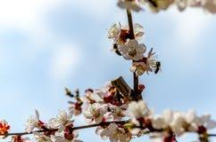 Bienen auf blühender Aprikosen-Baum-Blume lizenzfreie stockfotos