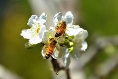 Bienen auf Blume Lizenzfreie Stockbilder