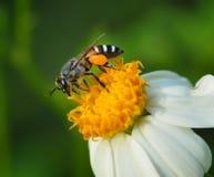Bienen auf Blume Stockfotografie