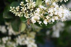 Bienen auf Blumen lizenzfreie stockfotos