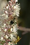 Bienen auf Cimicifuga-Blume Stockfotos
