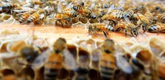 Bienen auf dem Bienenstock Lizenzfreies Stockbild