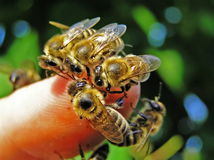 Bienen auf dem Finger der Hand. Stockfotos