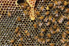 Bienen auf den Bienenwaben, gelber Streifen des frischen Sommerhonigs Stockbilder