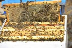 Bienen auf den Kämmen einer Abteilung verschalen einen Bienenstock Lizenzfreie Stockfotos