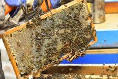 Bienen auf den Kämmen einer Abteilung verschalen einen Bienenstock Stockbilder