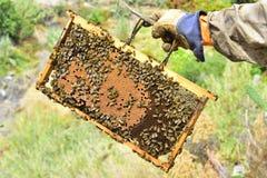 Bienen auf den Kämmen einer Abteilung verschalen einen Bienenstock Stockbild