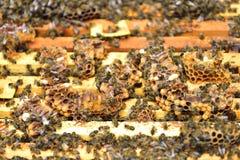 Bienen auf den Kämmen einer Abteilung verschalen einen Bienenstock Stockfotos