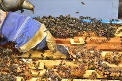 Bienen auf den Kämmen einer Abteilung verschalen einen Bienenstock Stockfoto