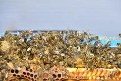 Bienen auf den Kämmen einer Abteilung verschalen einen Bienenstock Stockfotografie