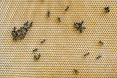Bienen auf der Bienenwabe stockfotografie