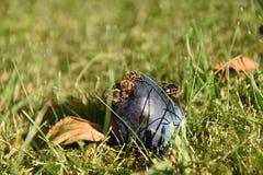 Bienen auf der Pflaume, die im Gras liegt Lizenzfreie Stockfotos