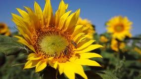 Bienen auf einem Sonnenblumensommer stock video