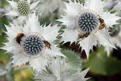 Bienen auf einer Blume lizenzfreie stockfotografie