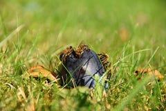 Bienen auf einer faulen Pflaume, die im Gras liegt Lizenzfreie Stockbilder