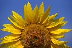 Bienen auf einer Sonnenblume 2 Stockfoto