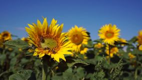 Bienen auf einer Sonnenblume stock video footage