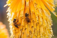 Bienen auf gelben Blumen Stockfotos