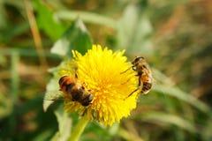 Bienen auf heller gelber Blume Lizenzfreies Stockbild