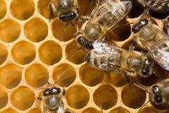 Bienen auf honeycells lizenzfreie stockfotos