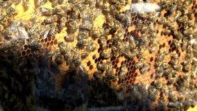 Bienen auf Honigzellen stock video footage