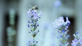 Bienen auf Lavendelblume stock video
