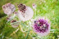Bienen auf purpurroter Mariendistel Lizenzfreies Stockfoto