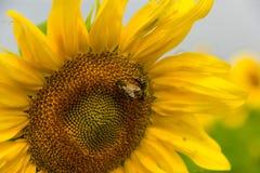 Bienen auf Sonnenblume Stockbild