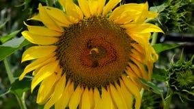 Bienen auf Sonnenblume stock footage