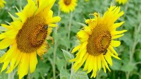 Bienen auf Sonnenblumen stock footage