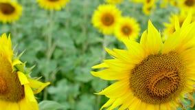 Bienen auf Sonnenblumen stock video footage
