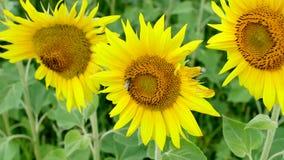 Bienen auf Sonnenblumen stock video