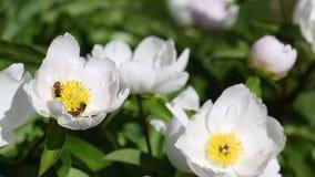 Bienen auf weißer Pfingstrosenblume stock video