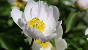 Bienen auf weißer Pfingstrosenblume stock video footage