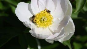 Bienen auf weißer Pfingstrosenblume stock footage