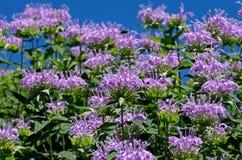 Bienen-Balsam Stockfoto