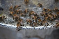 Bienen bei der Arbeit Stockfoto