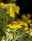 Bienen bei der Arbeit Lizenzfreies Stockfoto