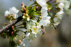 Bienen bestäuben die Blumen von Frühlingsbäumen Bienenzucht Insekte und Anlagen lizenzfreie stockfotografie