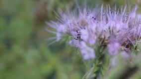 Bienen bestäuben phacelia Blumen am Sommertag stock video