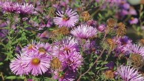 Bienen bestäuben und sammeln Nektar auf Blumen stock footage