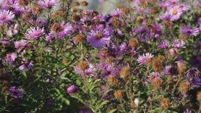 Bienen bestäuben und sammeln Nektar auf Blumen stock video footage