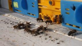 Bienen am Bienenstockeingang stock video