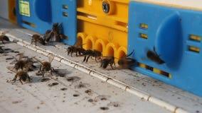 Bienen am Bienenstockeingang stock footage