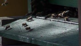 Bienen am Bienenstockeingang stock video footage