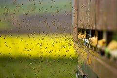 Bienen am Bienenstockeingang fliegen innen und heraus Stockfoto