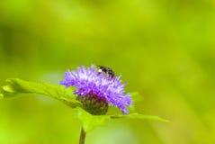 Bienen-Blütenstaub-Blume Stockfoto