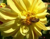 Bienen-Blume lizenzfreies stockfoto