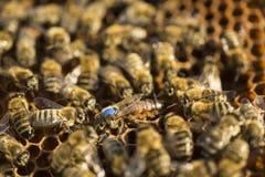 Bienen Circe Their Queen Stockbild