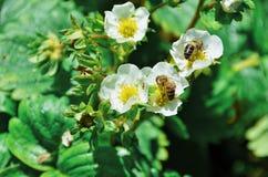 Bienen in den Blumen Stockfotos